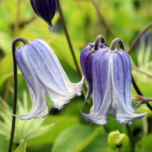 Clematis Swedish Bells